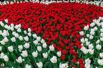 USA, Washington State, Skagit Valley, tulip field, white and red tulips