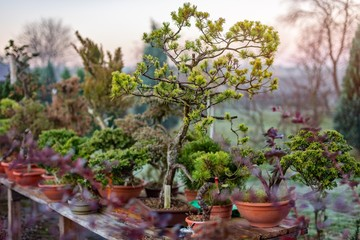 Bonsai trees growing outdoors in pots on wooden table