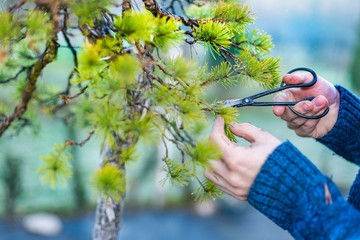 Man pruning japanese bonsai tree
