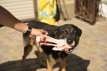 a man feeds a stray dog with raw meat