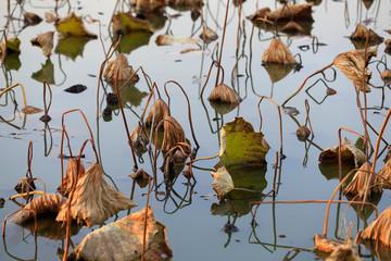 Broken lotus flower, in the water