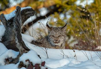 Aluminium Prints Lynx Lynx Winter