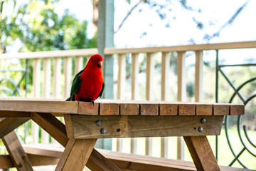 Parrot on Table