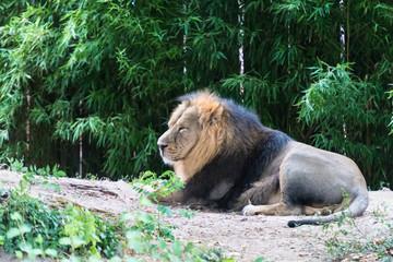 Löwe im Seitenprofil liegt gelangweilt herum