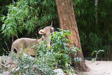 Löwin erblickt potentielle Beute und leckt sich mit der Zunge übers Maul