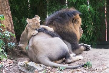 Babylöwe spielt mit Papa Löwe