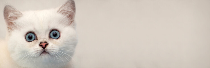Web banner for the site - the head of a white kitten with blue eyes on a soft background, copy space for your text.