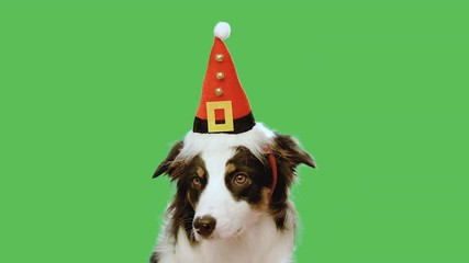 017 dog with christmas hat against chroma key green screen background cute aussie on green chromakey