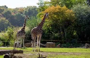Too giraffe in the park