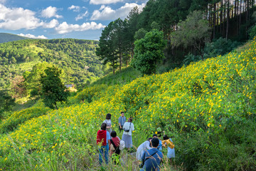 Da Lat, Vietnam - October 27th, 2018: Trippers are exploring, sightseeing and photography in a field wild sunflowers bloom brilliantly colorful nature scene beautiful sunny morning in Da Lat, Vietnam