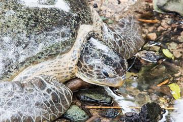 Costa Rica grüne Meeresschildkröte - Chelonia mydas
