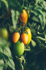 Tomatoes growing on branches