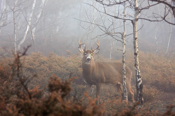 White-tailed deer buck with huge neck walking through the foggy woods during the rut in autumn in Canada Wall mural