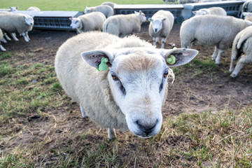 sheep at the Dutch island of Texel