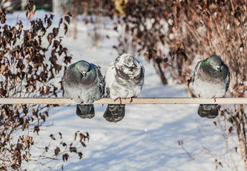A group of pigeons birds sits on a metal rail in autumn