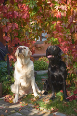 Beautiful black and white Labradors sit close to each other near the arch, entwined with colored ivy. Autumn landscape in the open air.  Halloween and Thanksgiving decoration.