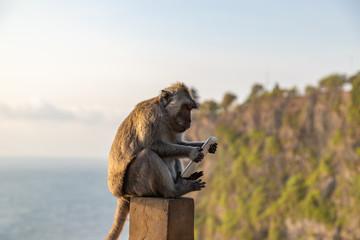 Monkey thief sitting with stolen mobile phone at sunset near Uluwatu temple, Bali island landscape. Indonesia.