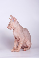 Don Sphynx cat on colored backgrounds
