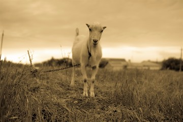 Domestic goat stay in the field, photo in sepia.