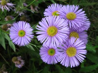 Fleurs d'Aster des Alpes