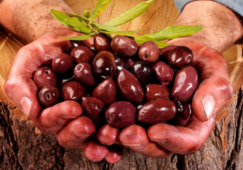 FARMER HOLDING KALAMATA,CALAMATA OLIVES