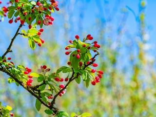 Rote Blüte einer Apfels
