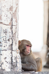 Macaque monkeys at the temple