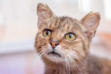 Portrait of an old cat, who looks closely at the top, close-up_