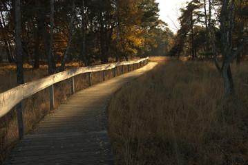 Fototapeta Von der Abendsonne beschienener Holzsteg mit hölzernem Geländer führt duch eine Wald und Heidelandschaft im Herbst obraz