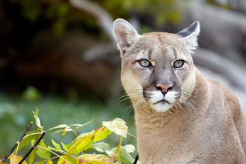 Acrylic Prints Puma Portrait of Beautiful Puma. Cougar, mountain lion, puma, panther, striking pose, scene in the woods, wildlife America