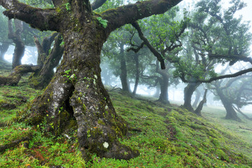 Old cedar tree in Fanal forest - Madeira island. Portugal.