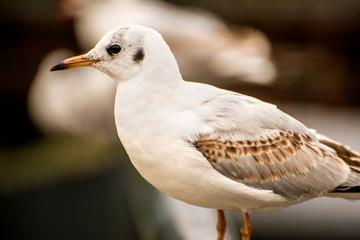 Black headed gull, closeup