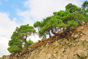 Crimean pine on a rocky mountain slope.