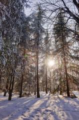 Forest under snow