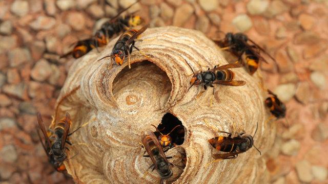 Nido de Vespa Velutina o avispa asiática en Cantabria, España