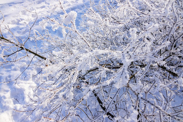 Frozen naked branches