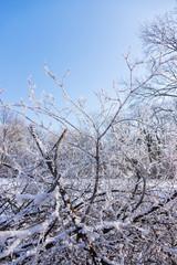 crown tree in winter