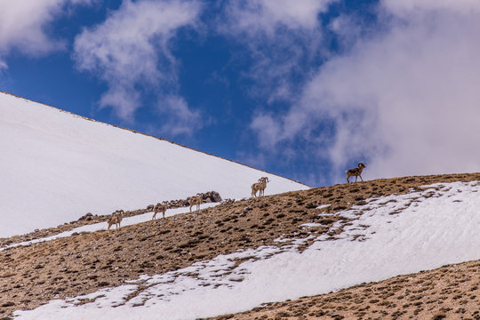 Herd of Marco Polo sheep resting on hill in Tajikistan
