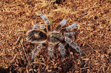 Chilenische Vogelspinne (Euathlus sp. bronze) - tarantula from Chile