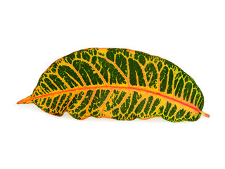 Wall Mural - croton leaf isolated on white background