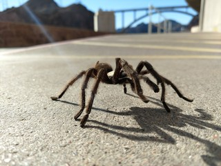 Tarantula in natural habitat, Theraphosidae at hoover dam nevada
