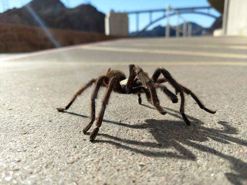 Tarantula in natural habitat, Theraphosidae at hoover dam nevada