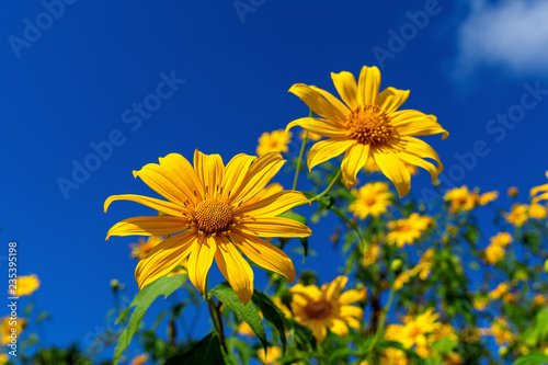Wall mural Tree marigold or Mexican flower blooming and blue sky.