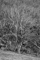 Bare alpine trees