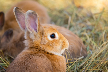 A close up picture of a young brown rabbits face