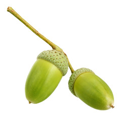 Two acorns isolated on white background.