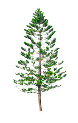 Green pine tree isolated on white background of file with Clipping Path .