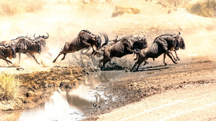 Zebras and wildebeest crossing the Serengeti in