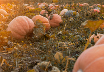 Large field with golden orange pumpkins, autumn time, squash