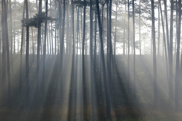 Fantastic foggy forest with pine tree in the sunlight. Sun beams through tree. Beauty world